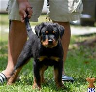 rottweiler puppy posted by vomhausereto