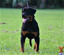 Rottweiler Puppies For Sale In West Palm Beach