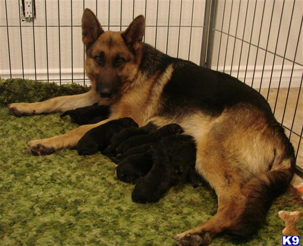 Adorable German Shepherd Puppies