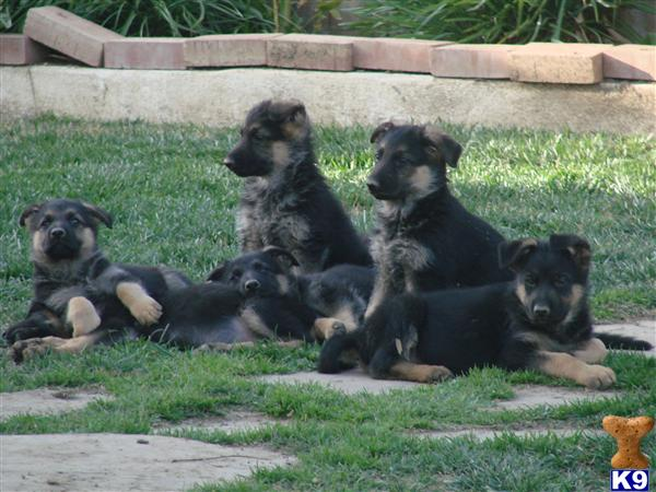 German Shepherd Puppies in Riverside