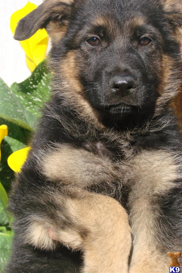 Purebred German Shepherd puppies