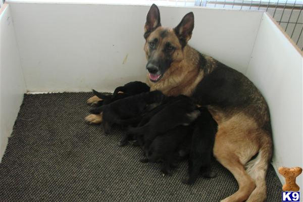 Cute Purebred German Shepherd Puppies