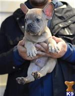 french bulldog puppy posted by vonaslanrottweilers