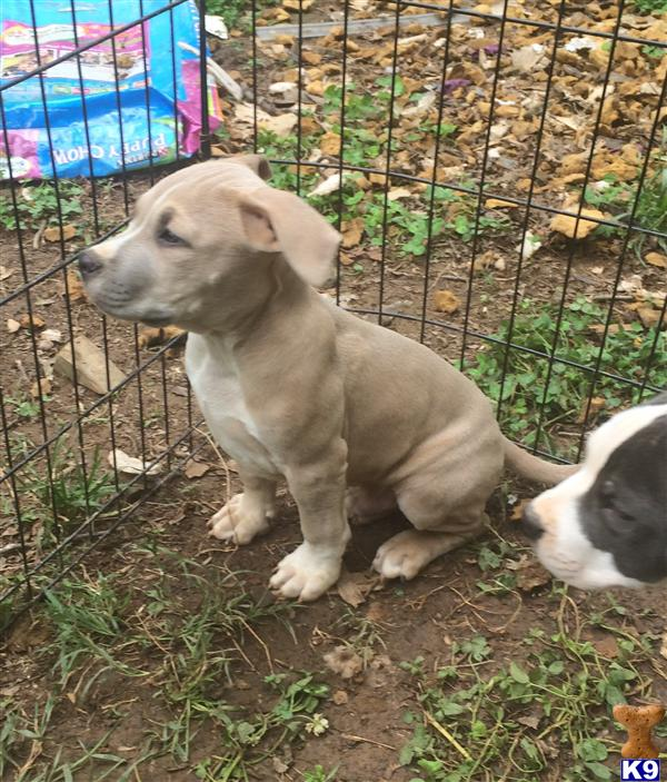 American Pit Bull Puppies in North Carolina