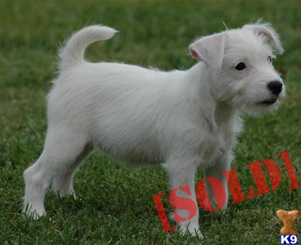 Rare Solid White Parson Russell Terrier Female Puppy- Champion Sired White Parson Russell Terrier