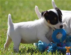 jack russell terrier puppy posted by wendoverterriers