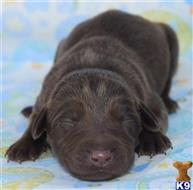 labrador retriever puppy posted by wendoverterriers