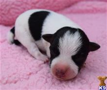 parson russell terrier puppy posted by wendoverterriers