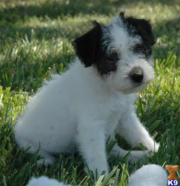 Jack Russell Terrier Puppy for Sale: Long Leg Broken/Wire Coat Jack ...