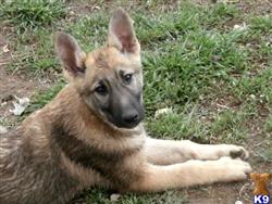 german shepherd puppy posted by wendywilson
