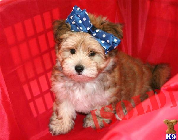Maltese Yorkie Mix for Sale