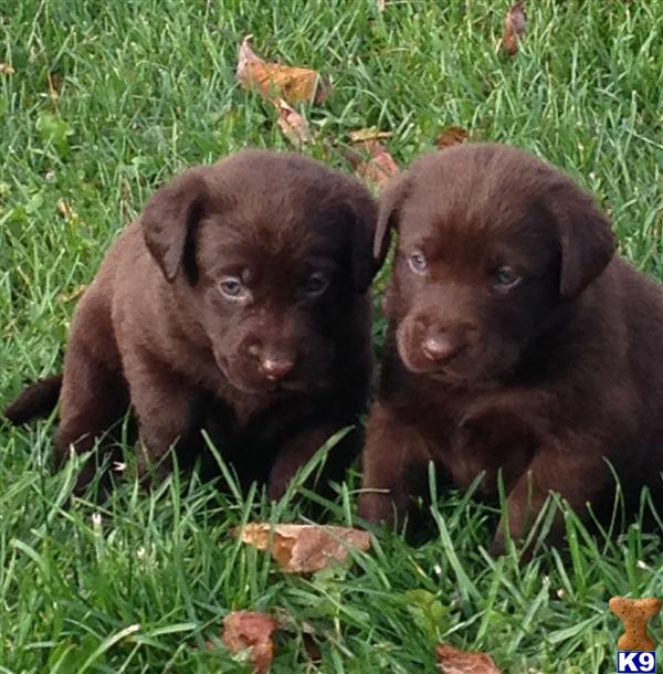 Chocolate lab puppies mn