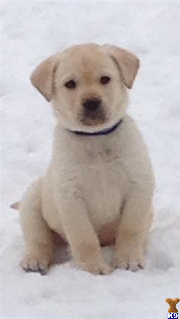 AKC English Labs . A Labrador Retriever pup for sale located in ...