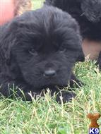 newfoundland puppy posted by widmar9