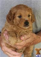 goldendoodles puppy posted by wiley9001