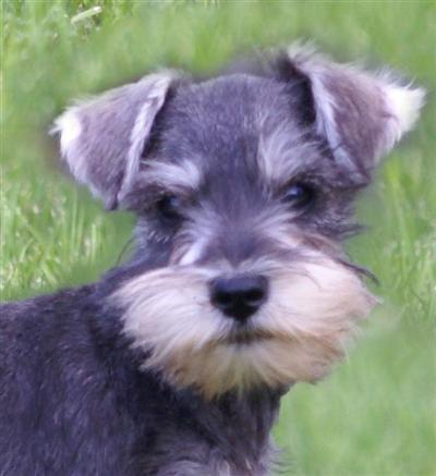 Miniature Schnauzer Puppies on Burlington  Co Usa Miniature Schnauzer Puppies