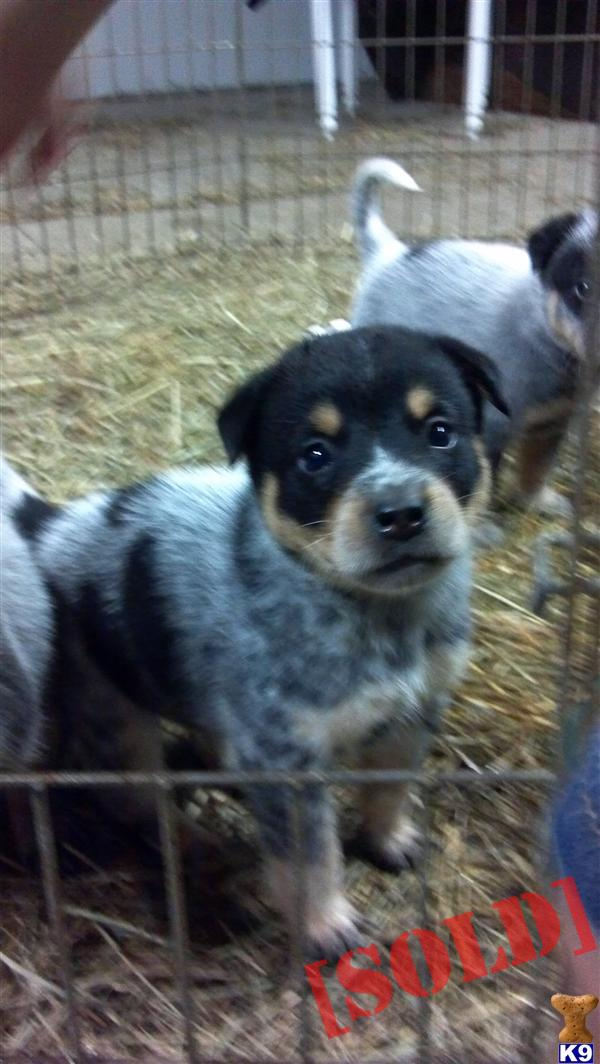 Australian Cattle Dog Puppies For Sale In Wi