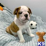 english bulldog puppy posted by wiserty