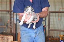 catahoula puppy posted by wmanuel
