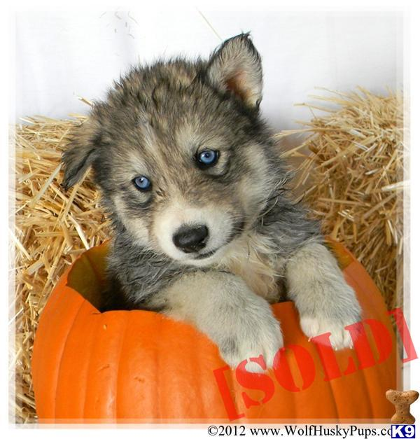 Images Wolfdog Wolf Hybrid Puppies For Sale From Breeders