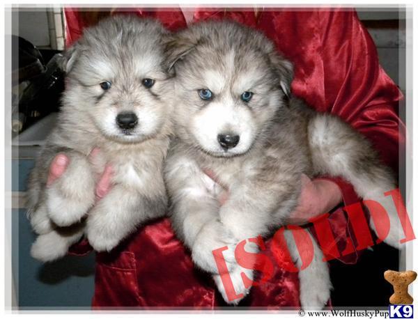 Husky Dog For Sale In Sacramento