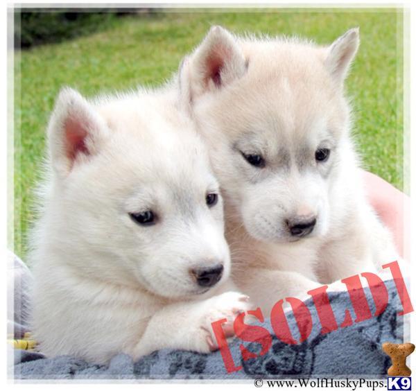 Husky Wolf Hybrid