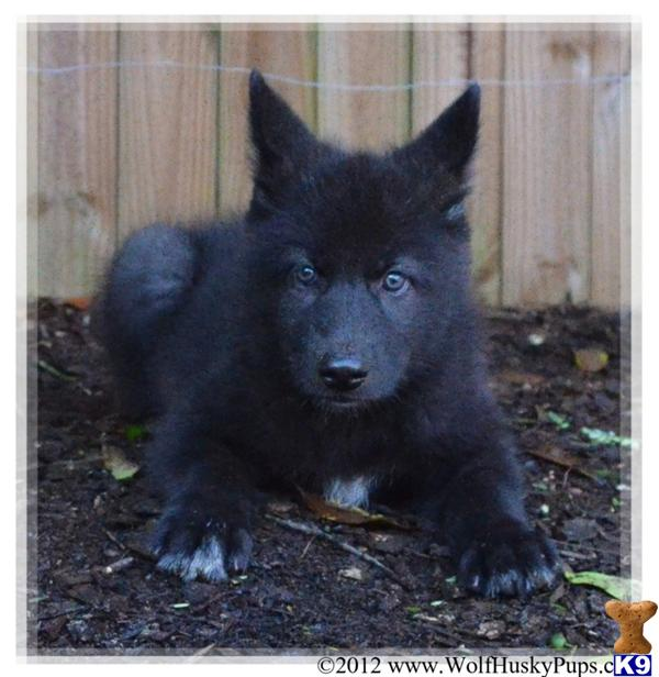 Wolf Dog Hybrid Puppies For Sale
