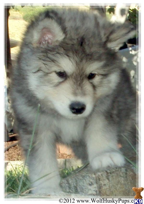 Wolf husky mix puppies - photo#21
