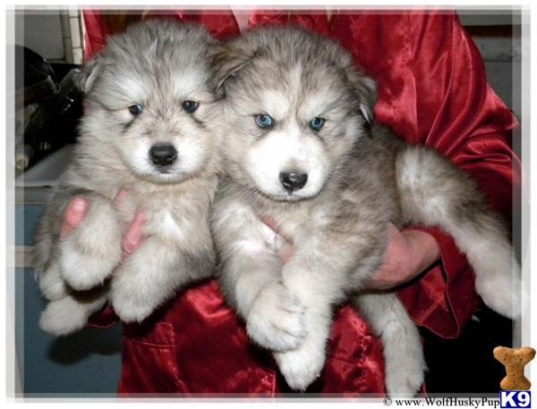 Husky Puppies For Adoption Long Island