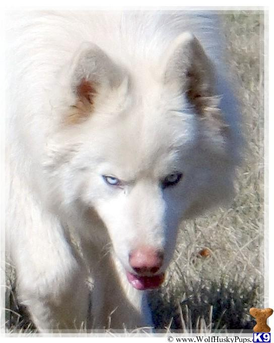 White Wolf Hybrid Puppies Breed: wolf puppies for sale