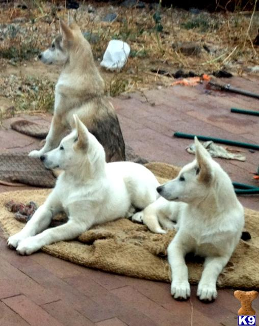 Wolf Dog Puppies in CA