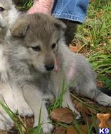 wolf dog puppy posted by wolfchief45