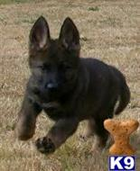 german shepherd puppy posted by wolfpackK9