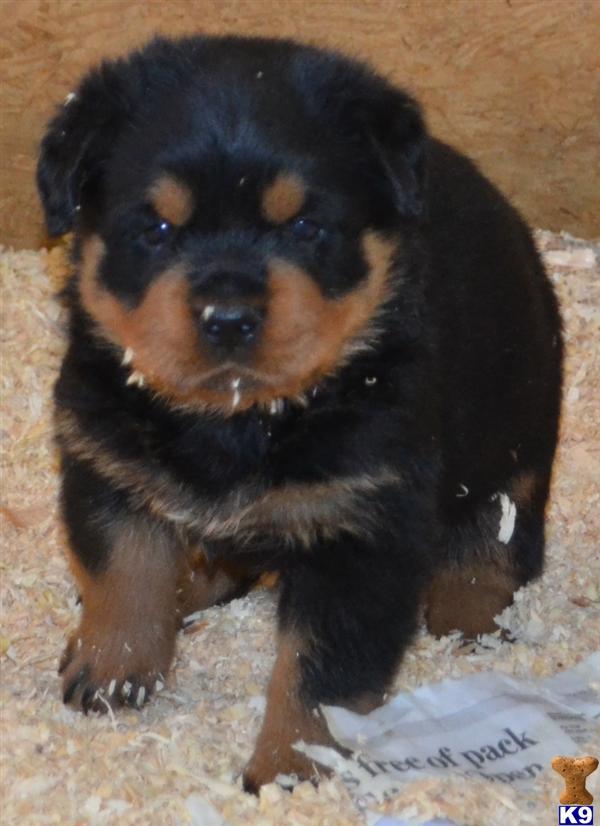 Pics photos rottweiler puppies for sale rialto ca