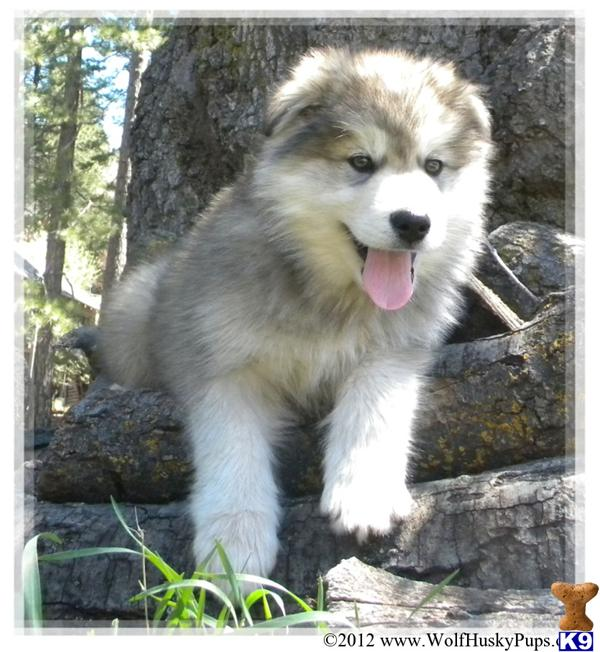 www.WolfHuskyPups.com Picture 1