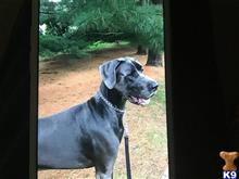 Great Dane Stud Dogs