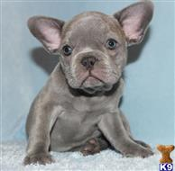 french bulldog puppy posted by xkeith85