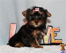 yorkshire terrier puppy posted by xkeith85