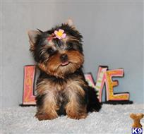 Yorkshire Terrier Puppies for sale in California