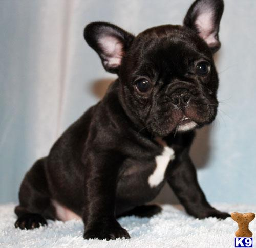 french bulldog california document moved 7921