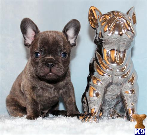 french bulldog california french bulldog puppies for sale in california 606