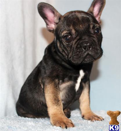 French Bulldog Puppy For Sale Akc Sabletan Blue Carrier