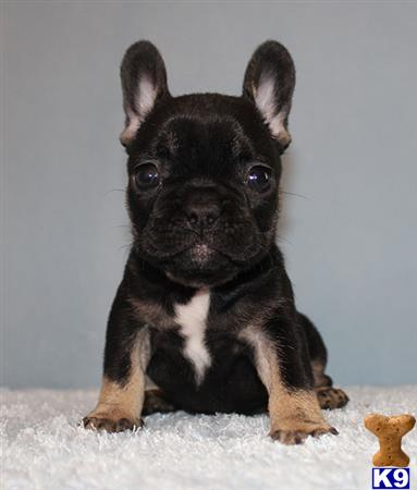 French Bulldog Puppy For Sale Miniature Akc Blacktan Blue
