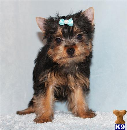 Yorkshire Terrier Puppy For Sale Toy Yorkie Puppy Boy Wally 5