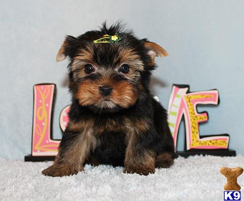 Yorkshire Terrier Puppy for Sale: Micro Tiny Teacup Yorkie Puppy Boy
