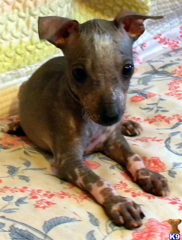 Home Puppies For Sale Xoloitzcuintli RANDY Xoloitzcuintli For Sale In California