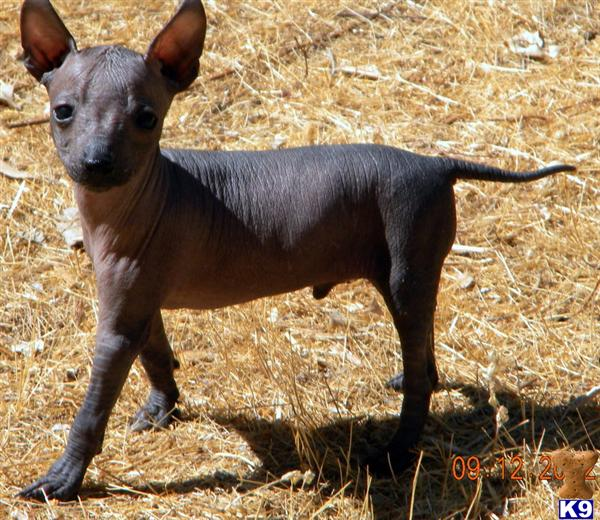 Xoloitzcuintli Puppy for Sale: Major 4 Years old
