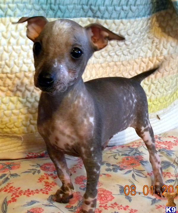 Xoloitzcuintli Puppy for Sale: RANDY 4 Years old Xoloitzcuintli For Sale In California