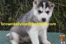 siberian husky puppy posted by yuvohnmancho