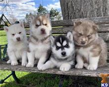 siberian husky puppy posted by zamanizulu1